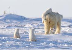 a-happy-family-of-polar-bears