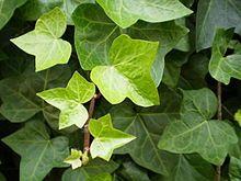 Es una planta trepadora de hojas perennes que ha sido ampliamente utilizada con fines medicinales, con el cuidado de distinguirla de venenos...