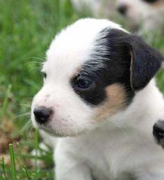 High Meadow JRT Puppy
