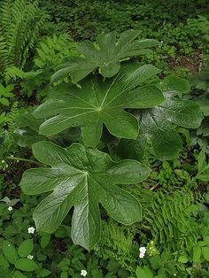 Podophyllum versipelle