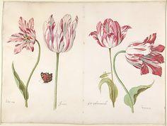 Four Tulips: Boter man (Butter Man), Joncker (Nobleman), Grote geplumaceerde (The Great Plumed One), and Voorwint (With the Wind)  Jacob Marrel (German, Frankenthal 1613/14–1681 Frankfurt am Main)