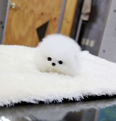chubby-puppies-bear-cub-look-alikes-17-1__605 Teacup Pomeranian