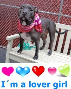 SAFE 12-12-2015 --- Manhattan Center NIAGARA – A1059305 FEMALE, BLACK / WHITE, PIT BULL MIX, 1 yr OWNER SUR – EVALUATE, HOLD FOR ID Reason PERS PROB Intake condition EXAM REQ Intake Date 12/01/2015, http://nycdogs.urgentpodr.org/niagara-a1059305/