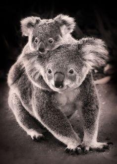 Koalas Baby, hold on (by kelpie1)