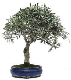 olive Olive Plant, Bonsai Trees, Ikebana, Addiction, Gardening, Shapes, Nature, Plants, Inspiration