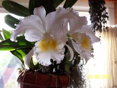 Scented cattleya Bob Betts -one of Joza's orchids