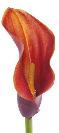 orange calla lily @Donna Thompson