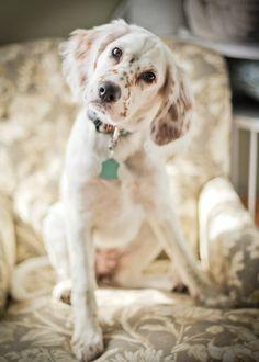 My English Setter puppy, Annie.