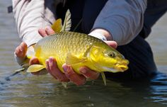 Yellowsonfly.blogspot.com Trout, Fly Fishing, Brown Trout, Fly Tying, Camping Tips