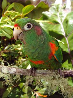 The rare Santa Marta parakeet is found only in Colombia's Sierra Nevada de Santa Marta. Photo courtesy of Fundacion ProAve. BirdLife International estimates that only between 3,300 and 6,700 adult birds exist today.