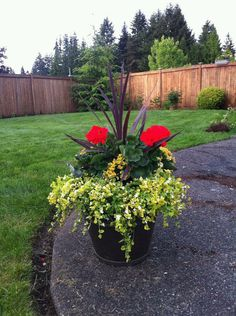 """Last years pot arrangement. Geraniums, begonias, bacopa, and """"palm"""" tree in the center. My favorite arrangement last year."""