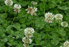 Becomes prolific in St Augustine grass when Nitrogen levels are low. Bonide Chemical Chickweed, CLOVER and OXALIS Killer. Contains horsepower (Triclopyr + MCPA + Dicamba) Pests, Plants, Catnip Plant, Hardy Plants, Plants That Repel Flies, Clover Seed, Plants That Repel Ants, Flower Tea, Perennial Plants