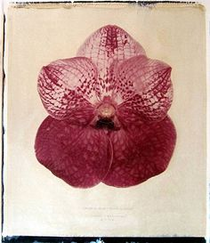Linda Broadfoot | Vanda Dr. Anek x Lenavat | 2006 | hand manipulated polaroid transfer on Fabriano paper | 30 x 22 inches