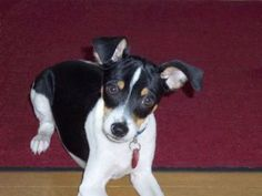 What am I going to do with both ears broken?: Murphy the Toy Fox Terrier Puppy Toy Fox Terrier Puppies, Terrier Rescue, Rat Terriers, Cute Puppy Photos, New Puppy, I Love Dogs, Cute Puppies, Animal Pictures, Fur Babies