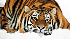 Animals Cats Tigers Winter Snow Seasons Stripes Color Contrast Orange Pattern Face Eyes Whiskers Wallpaperswide Fot. Steve Winter