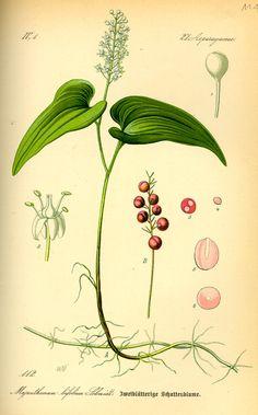 Maianthemum canadense - Canada mayflower (Asparagaceae)