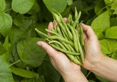 There are a lot of different kinds of beans out there, but not many can steal the spotlight from the simple green bean. Whether baked in a casserole, eaten as a healthy snack, or taken to market, growing your own… Continue Reading → Growing Green Beans, Growing Greens, Growing Plants, Green Beans Benefits, Preserving Green Beans, Container Gardening, Gardening Tips, Organic Gardening, Bean Garden