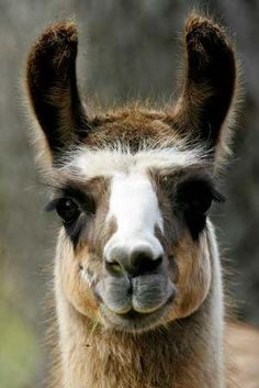 Llama by katy