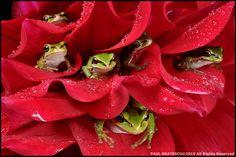 Frogdominium by Paul Bratescu on Flickr - Pacific Northwest Treefrogs (Hyla regilla)
