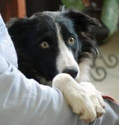 Scotty is an adoptable Border Collie Dog in Glenrock, WY. Little Scotty arrived at WBCR late in the fall. He was�living�on his own�in Nebraska, was trapped and brought to a vet clinic, who then called WBCR.  He's barely a year old and yes, cute as a button!  But he is definitely a little scaredy pants.  Although he is coming along, he still has a loooooong way to go.  He will require an adopter with extensive shy or feral dog experience, and a home with at least one other confident dog.