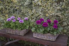 Cynthia & Burghi #Franse #Geranium #Edelgeranie #Regal #Pelargonium #Grandiflorum #garden #plants #flowers