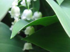 Fairyhungary: Gyöngyvirágok Plants, Plant, Planets