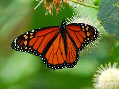 "Photo:  Monarch Butterfly....""Animal Symbols of the Gospels 