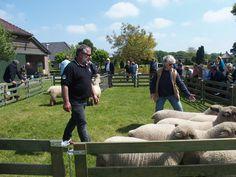 Opendag 2014 Sheep, Lamb, Animals, Animales, Animaux, Animal, Animais, Baby Sheep