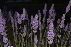 10 PLANTAS RESISTENTES AL SOL - Con Nombres y Fotografías Night Flowers, Green, Plants, Gardens, Patio Plants, Green Plants, Outdoor Plants, Ornamental Plants, Container Gardening