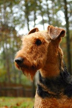 #Airedale #Terrier #Puppy #Dogs