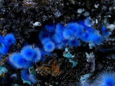 Cyanotrichite. Lavrion, Attika, Griechenland Copyright Stephan Wolfsried