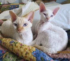 Best Devon Rex Cats - Sugar and Sparky 2/14/14 Mother & Son...They are definitely my little Valentines!