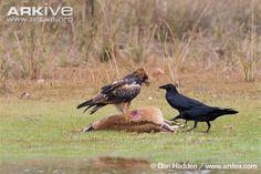 Black-breasted buzzard (Hamirostra melanosternon) and torresian crows (Corvus orru) feeding on an agile wallaby (Macropus agilis)