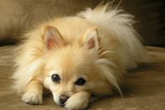 Toy Dog Breeds That Don't Shed | Pet Photos Gallery Dog Breeds That Dont Shed, Toy Dog Breeds, Military Dogs, Man And Dog, Training Your Puppy, Pet Photos, Animal Pictures, Photo Galleries, Best Friends