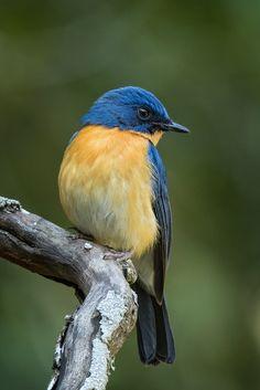 Tickell& Blue by Mohan Krishna Pretty Birds, Love Birds, Beautiful Birds, Animals Beautiful, Small Birds, Colorful Birds, Animals And Pets, Cute Animals, Bird Pictures