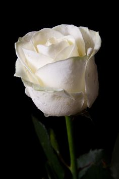 Pure and natural white rose