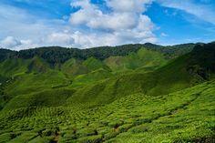 Garden, Tea, Field, Green, Beautiful, Tea Garden #garden, #tea, #field, #green, #beautiful, #teagarden