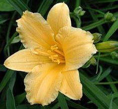 Hemerocallis Hybride 'Stella de Oro' - Taglilie (kleinblumig)
