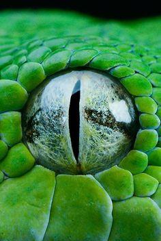 Snake eye close-up Les Reptiles, Reptiles And Amphibians, Beautiful Creatures, Animals Beautiful, Cute Animals, Green Animals, Close Up Photography, Animal Photography, Wildlife Photography