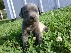Blue Lacy puppy State dog of Texas   South Texas Lacy Dogs  Registered Blood tracking Lacy dogs
