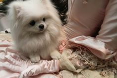 We have tee at Sophia Oddo, a white pomeranian, Westminster Dog Show (AP Photo/Tina Fineberg) Cute Puppies, Cute Dogs, Dogs And Puppies, Doggies, Animals And Pets, Baby Animals, Cute Animals, Spitz Pomeranian, Pomeranians