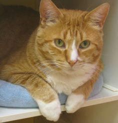 Adopt Patrick @ Feline Rescue, St. Paul,MN. He is a BIG boy who was abandoned at the shelter and been waiting a long time for his home!