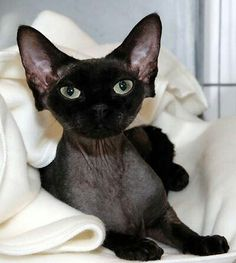 Pretty baby !  I've never seen a black Sphynx before..