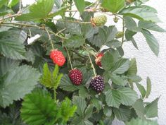 First blackberries of the season. Spring gardens are waking up!