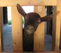 Christmas Goat? | Sheepy Hollow Farm Life