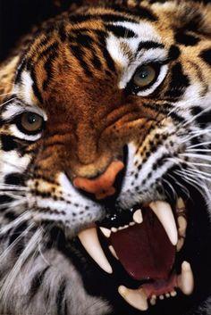 CLOSE UP Bengal Tiger | Animals  Cats  Wild Cats  Tigers  Tiger Photography: Art Prints ...
