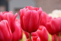 Tulpen - popular spring flowers Germany.