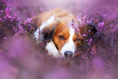 Kooikerhondje Dog - Flower Power by Linda Kohler on 500px
