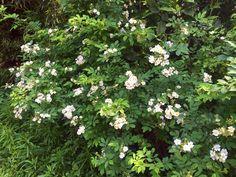 野バラ #山頂公園