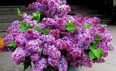 Purple lilacs HD Wallpaper